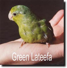 Green Lateefa - Parrotlet