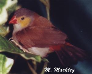 Orange Cheek Waxbill